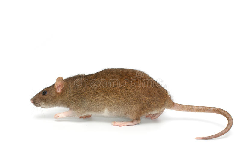 rat gris photographie stock