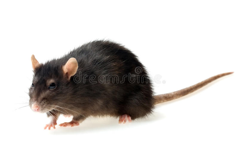 Rat gris photo libre de droits