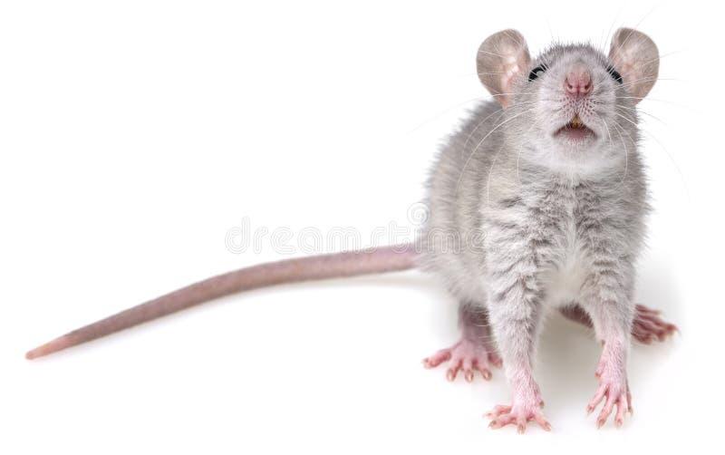 Rat gris photographie stock