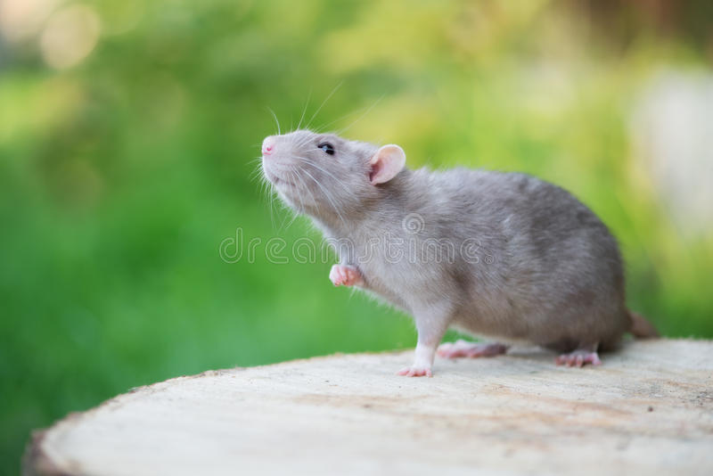 Rat gris adorable d'animal familier posant dehors image stock