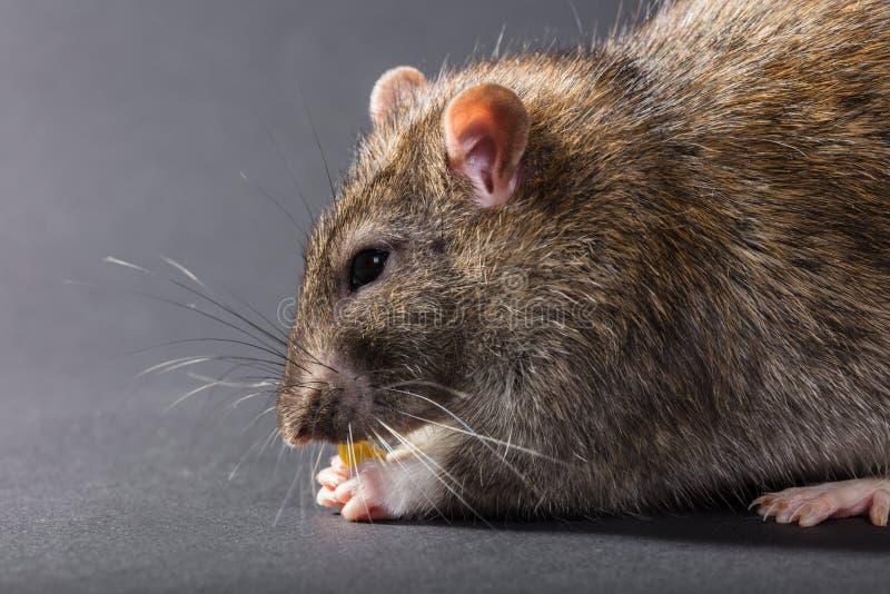 Rat gris animal mangeant le plan rapproché images stock