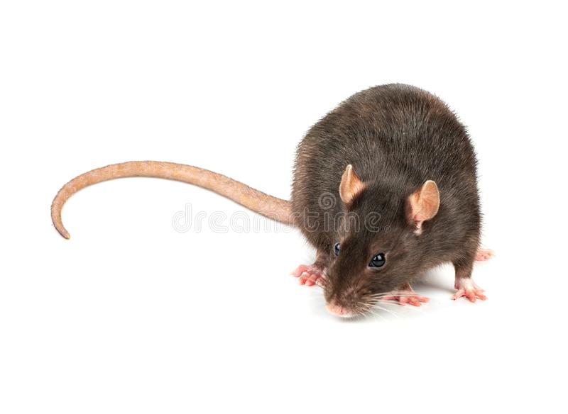 Rat gris d'isolement images libres de droits