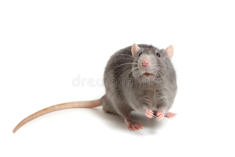 Rat gris d'isolement sur le fond blanc photo libre de droits