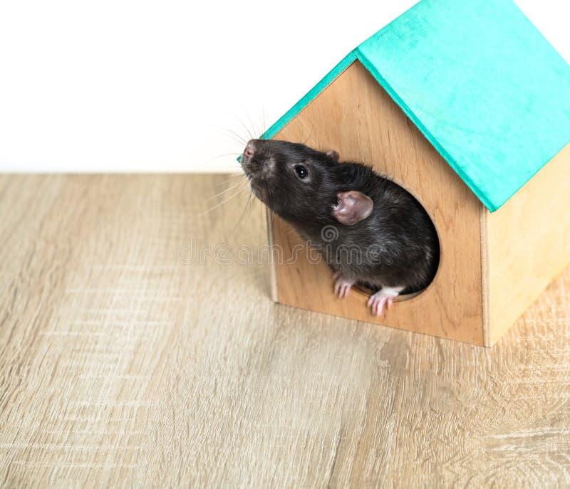 Rat gris dans la maison en bois photographie stock libre de droits