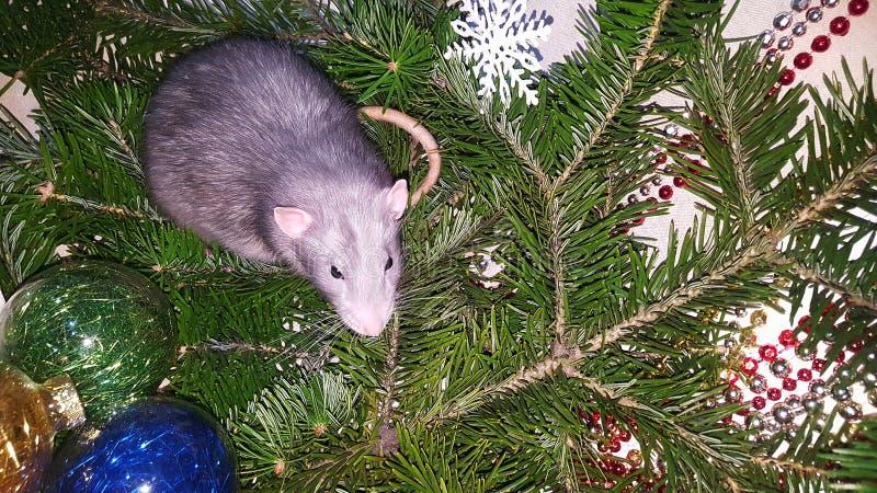 Rat gris de Noël sur le fond d'un arbre de Noël naturel Symbole de la nouvelle année 2020 dans le calendrier chinois image libre de droits