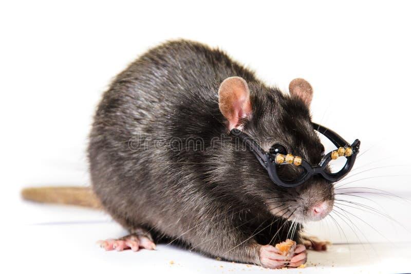 Rat gris drôle en petits verres images libres de droits