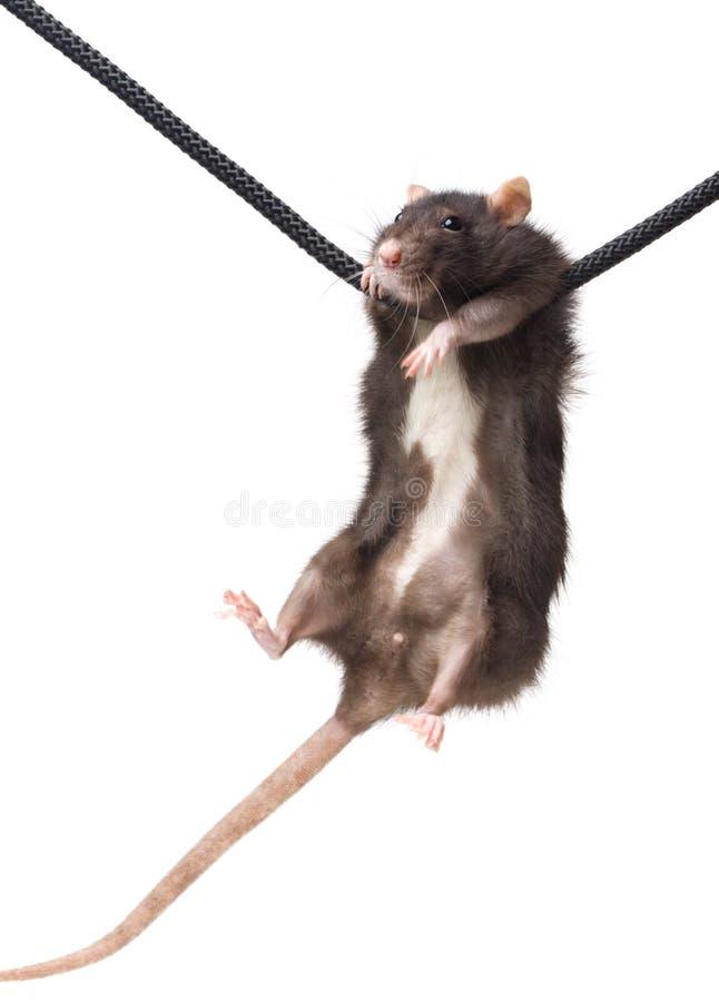 Rat gris sur la corde photographie stock