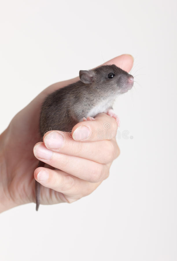 Download Rat in a hand stock photo. Image of closeup, small, gray - 24995772