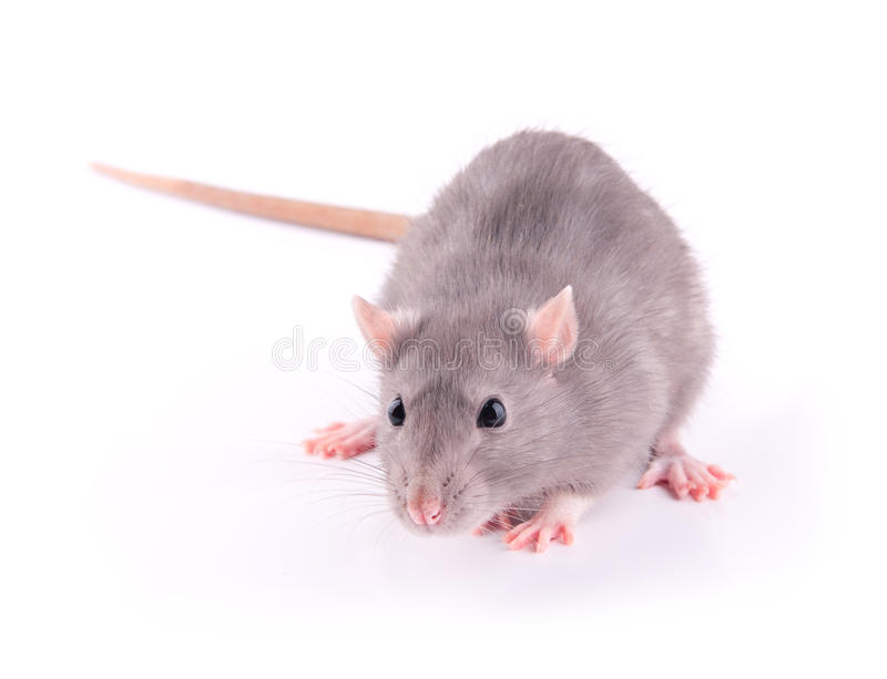 Download Rat isolated stock photo. Image of mouse, grey, background - 24880336