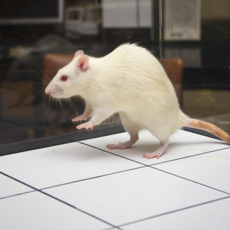 Rat jumping on board during experiment.  stock photo