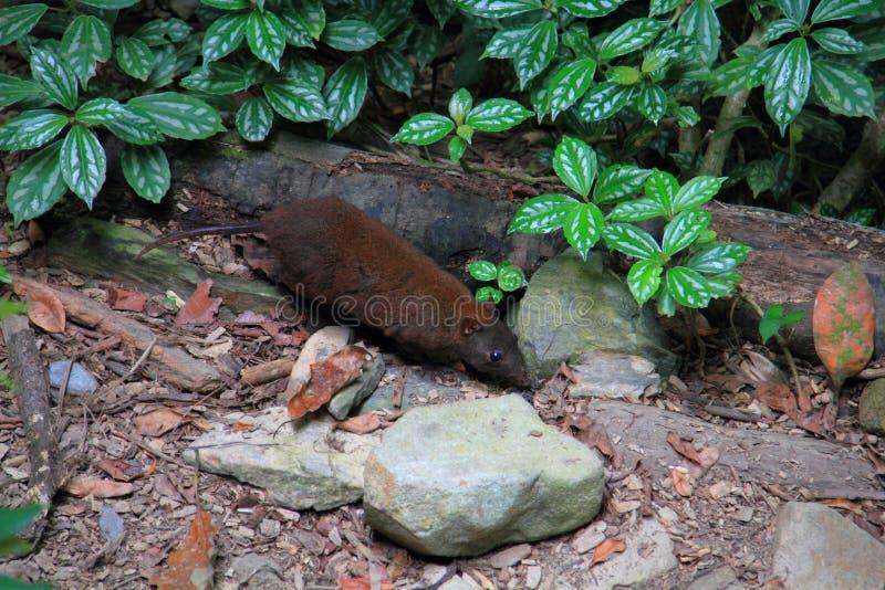 Rat-kangourou musqué photographie stock