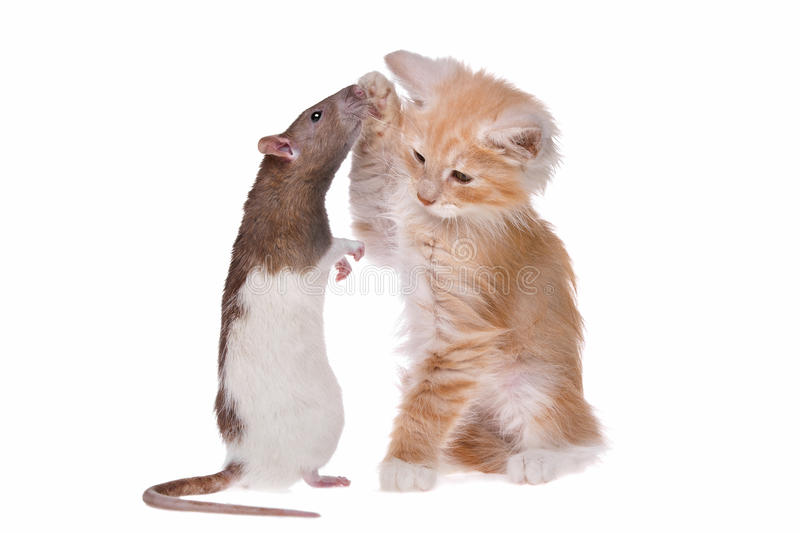Rat and kitten. In front of a white background stock photos