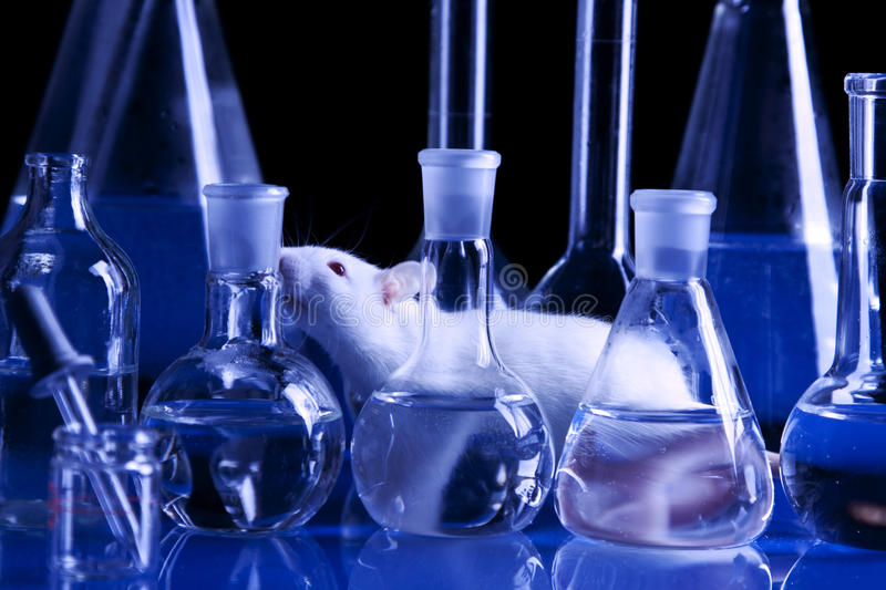 Rat in lab. Animal experiments stock images