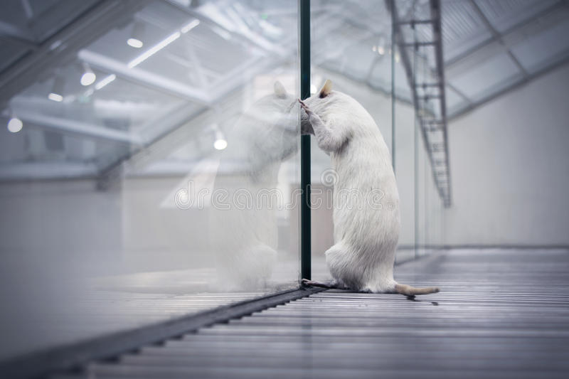 Rat looking out dreaming of freedom. Rat in laboratory looking out through glass walls, dreaming of freedom. Low point of view of perhaps a cat or other stock photos