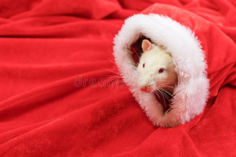 A rat looks out of a Santa hat. Symbol of the year 2020 royalty free stock photography