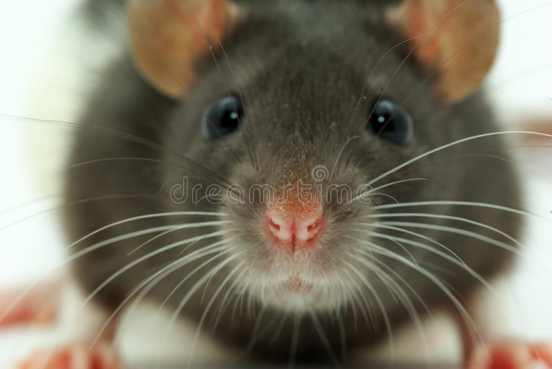 A rat looks at you stock photography