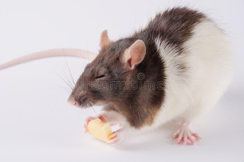 Rat mangeant du fromage photo libre de droits