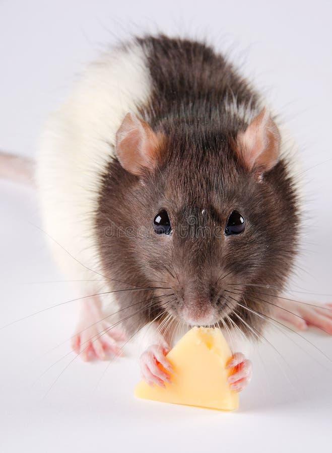 Rat mangeant du fromage images libres de droits