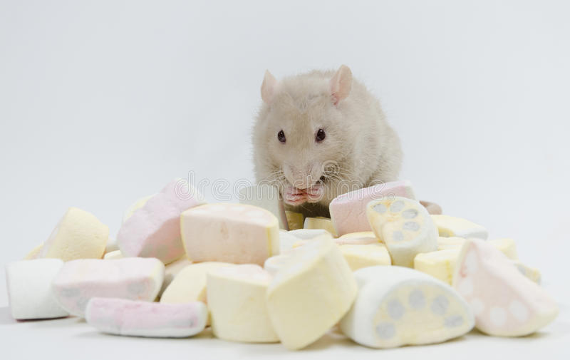 Rat with marmalade. Decorative rat and marmalade. Ludvig stock photography