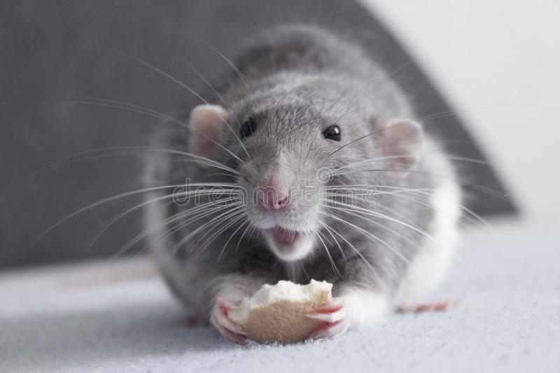 Rat mignon photo stock