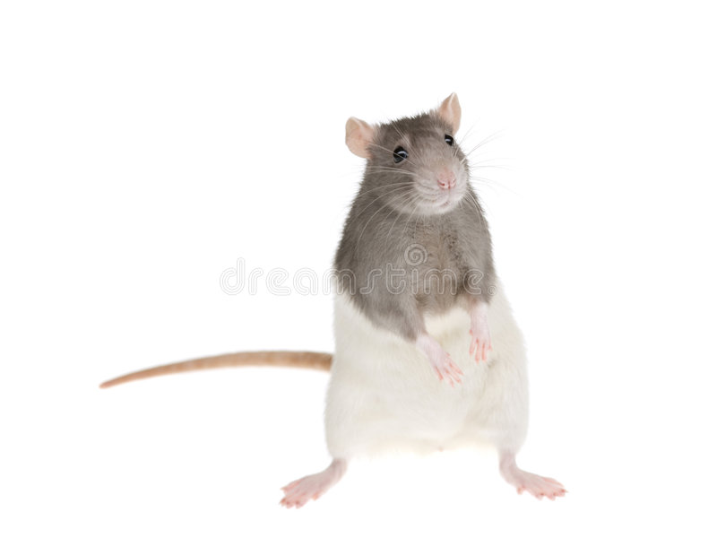 Rat mignon photos stock