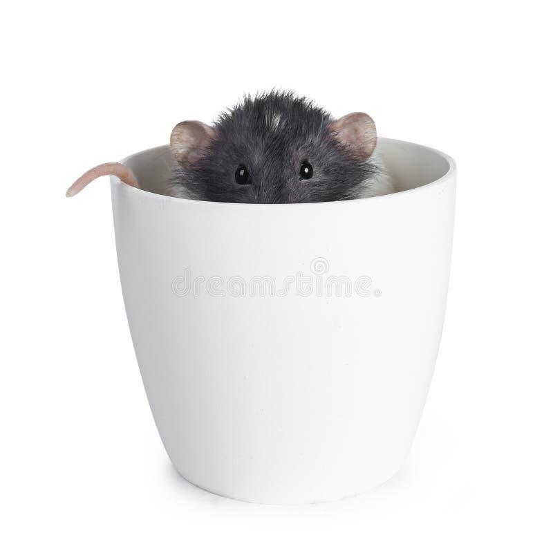 Rat mignon d'abruti sur le fond blanc photos stock