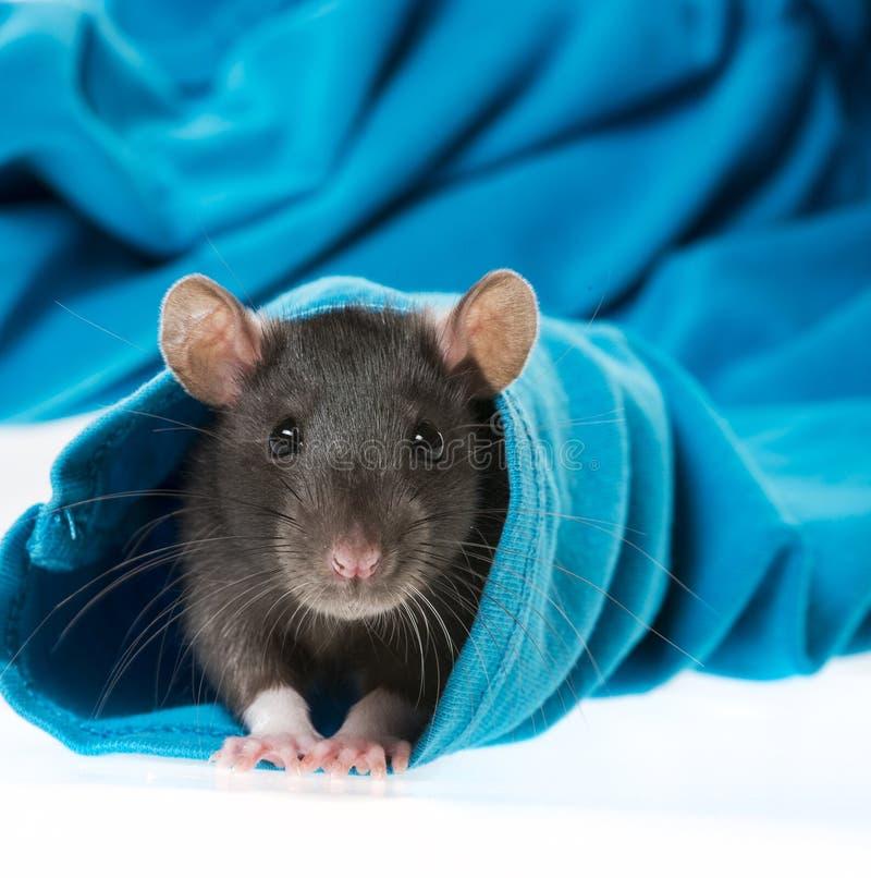 Rat mignon d'animal familier photo libre de droits