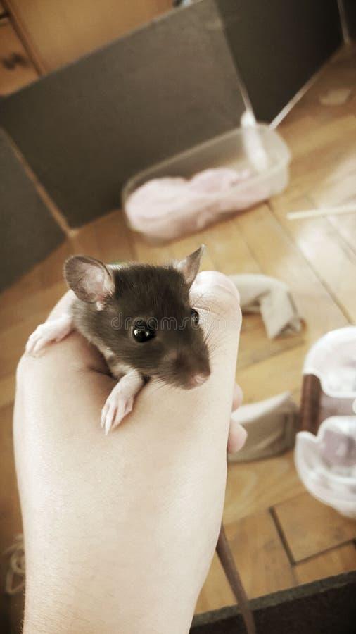 Rat mignon de bébé images libres de droits