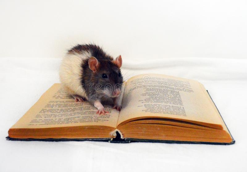 Rat mignon se reposant sur le livre photographie stock