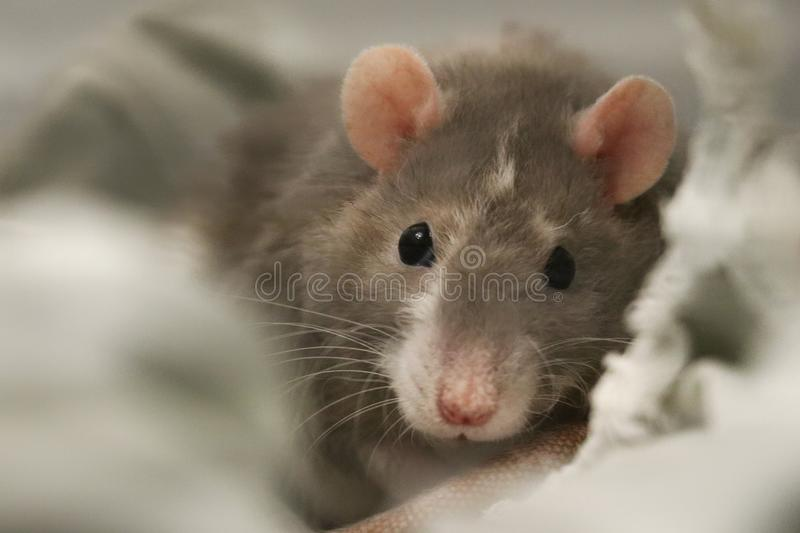 Rat mignon superbe d'animal familier photos stock