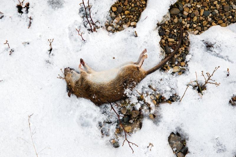 Rat mort sur la neige photographie stock libre de droits