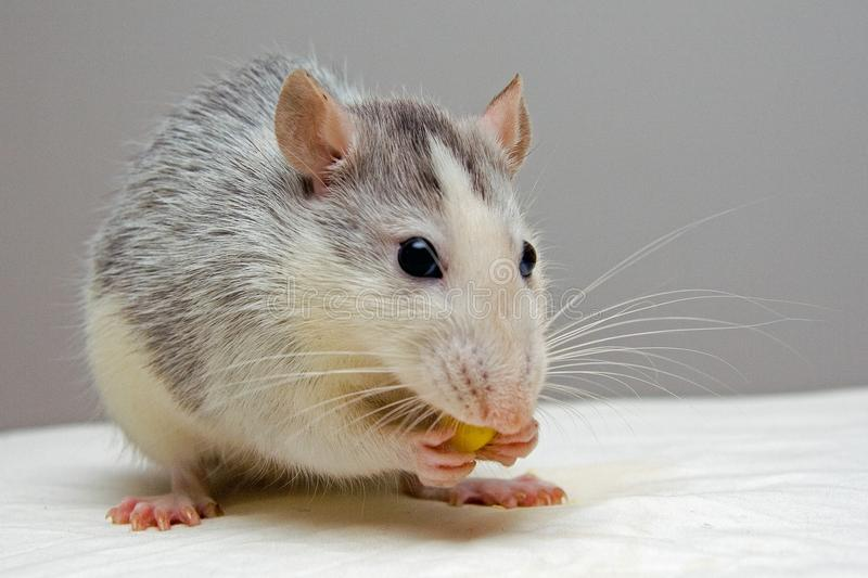 Rat, Mouse, Muridae, Fauna royalty free stock images