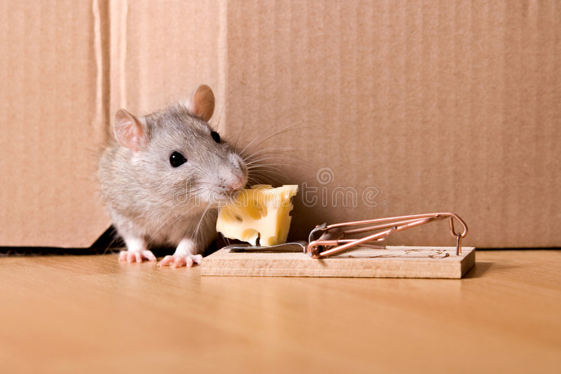 Rat, mousetrap and cheese stock images