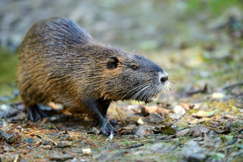 Rat musqué photo libre de droits