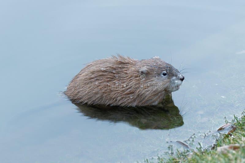 Rat musqué humide dans l'eau près du rivage Ukraine Kiev 2018 images libres de droits