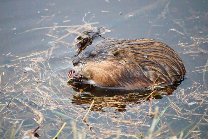 Rat musqué mangeant l'herbe dans l'eau photo stock