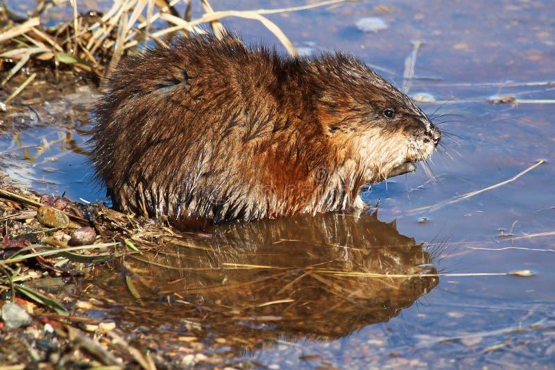 Rat musqué se reposant au bord d'un étang avec une réflexion dans l'eau image libre de droits