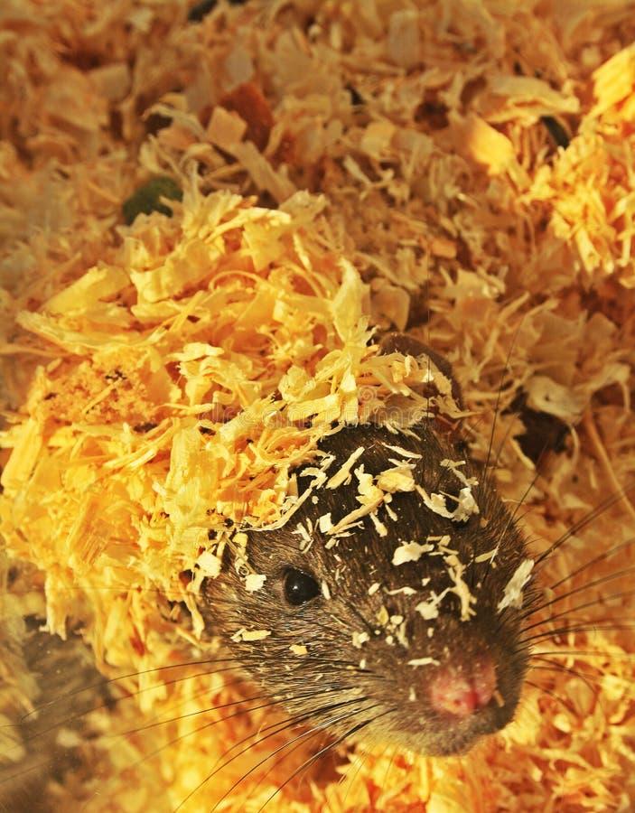 Rat& x27; nettes kleines Gesicht s stockfotografie