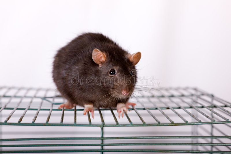 Rat noir image stock