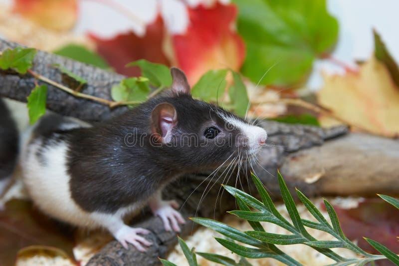Rat noir et blanc se cachant dans le feuillage photo stock