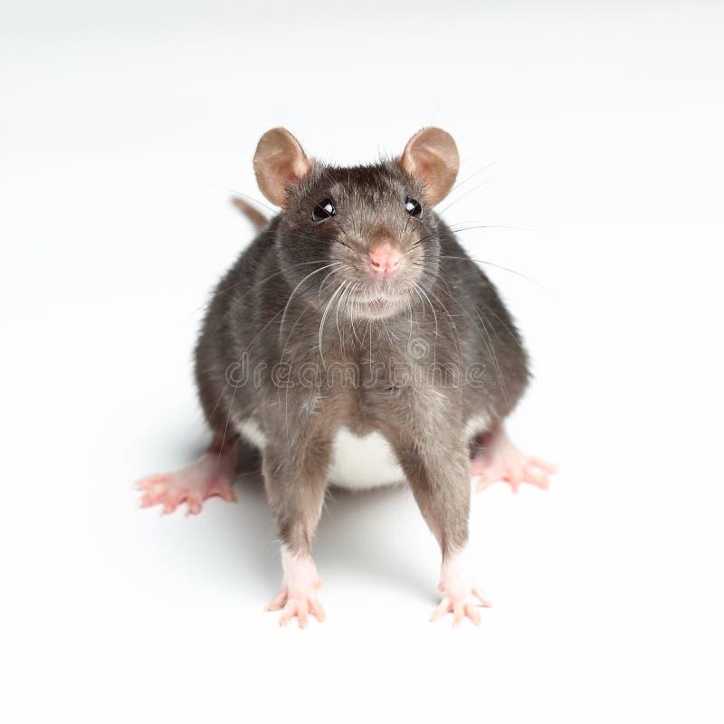 Rat noir sur le blanc photo libre de droits