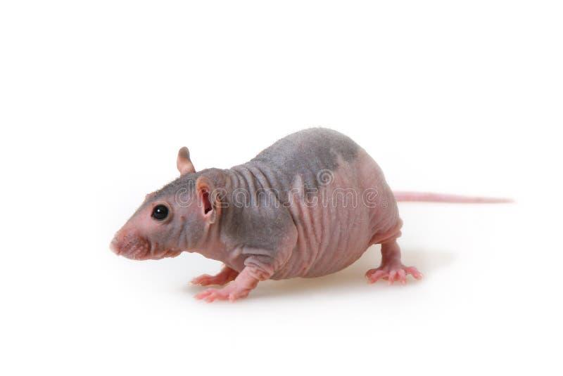 Rat nu photos libres de droits