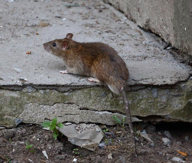 Rat on an old cracked concrete slab royalty free stock photography