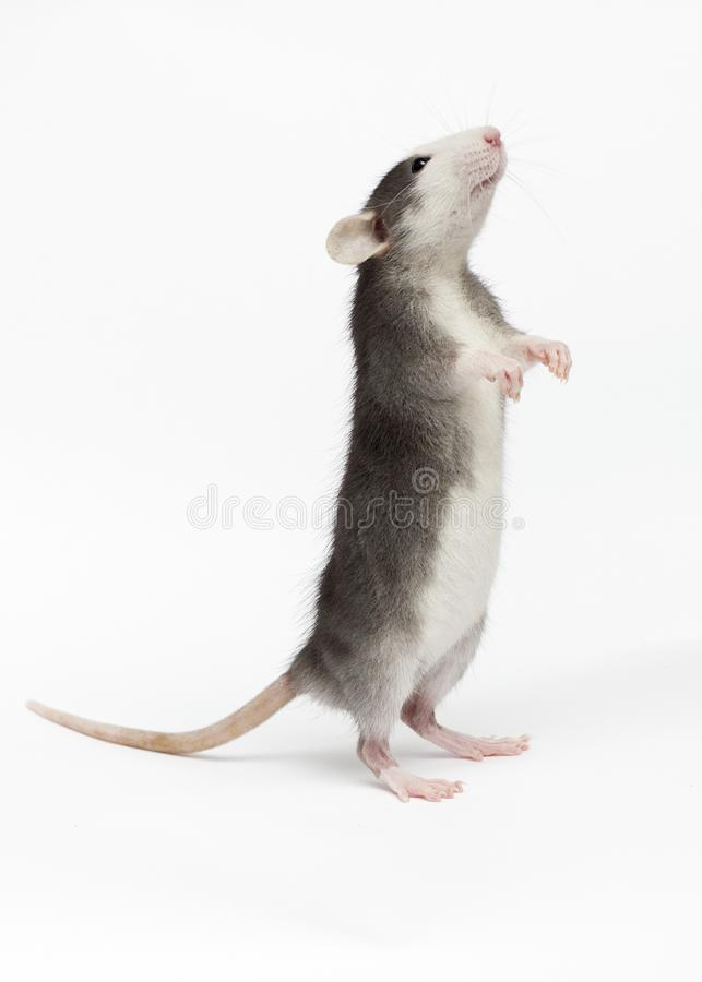 Free Rat On A White Background Royalty Free Stock Photography - 145107567