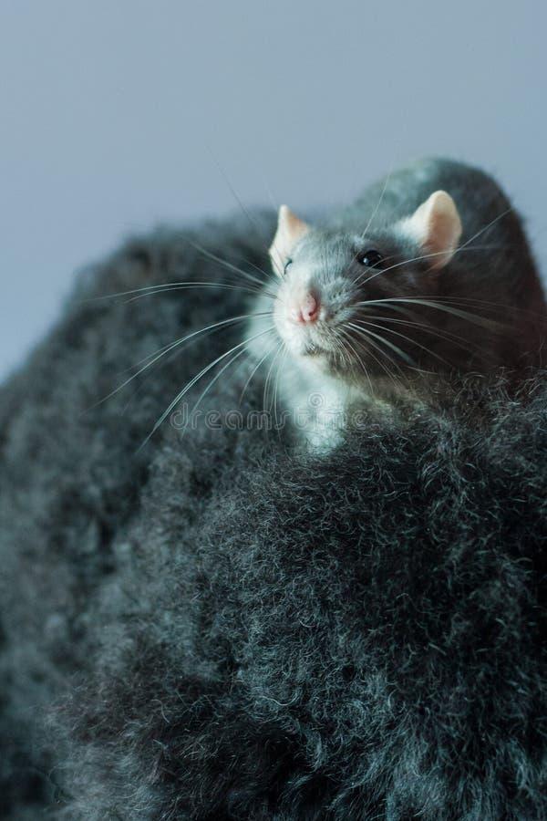 Rat op een zwarte poedel royalty-vrije stock afbeeldingen
