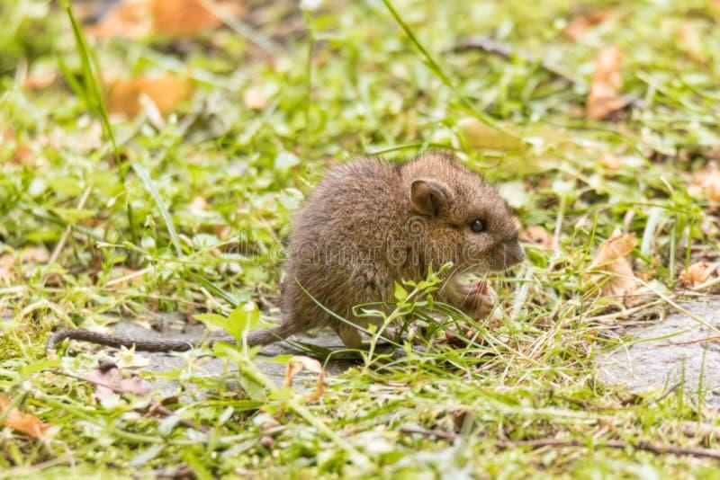 Rat ou souris sauvage de bébé sur la pelouse de jardin photos libres de droits