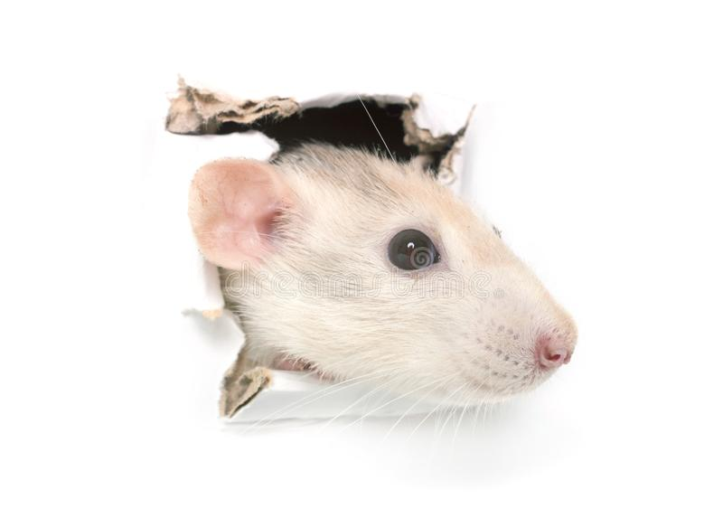 Rat in hole. Rat in paper side torn hole isolated stock photography