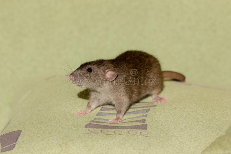 Download Rat on a pillow stock photo. Image of green, sofa, closeup - 31996402