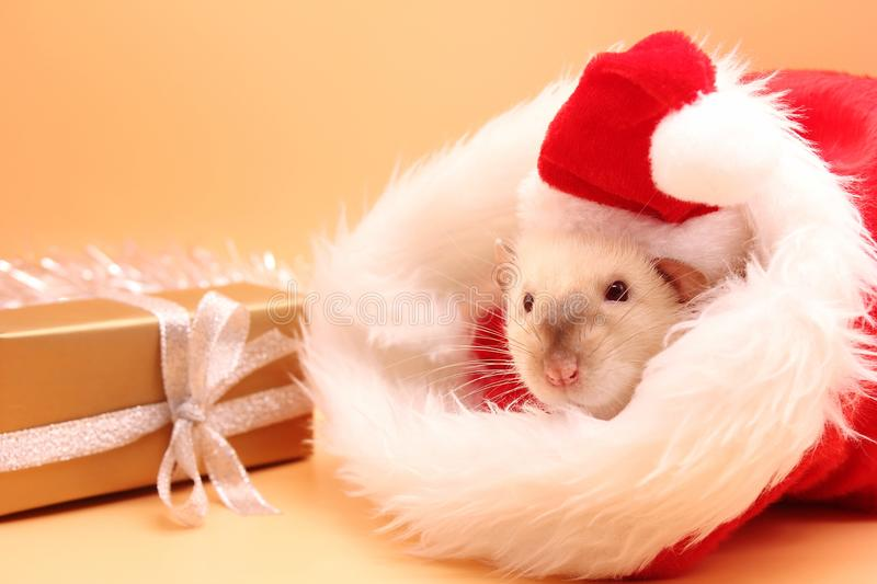 A rat in a red Christmas hat near the gift. Happy New year to 2020 stock images