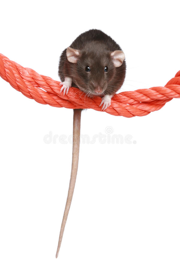 Download Rat on a rope stock image. Image of brown, hairy, young - 22123833